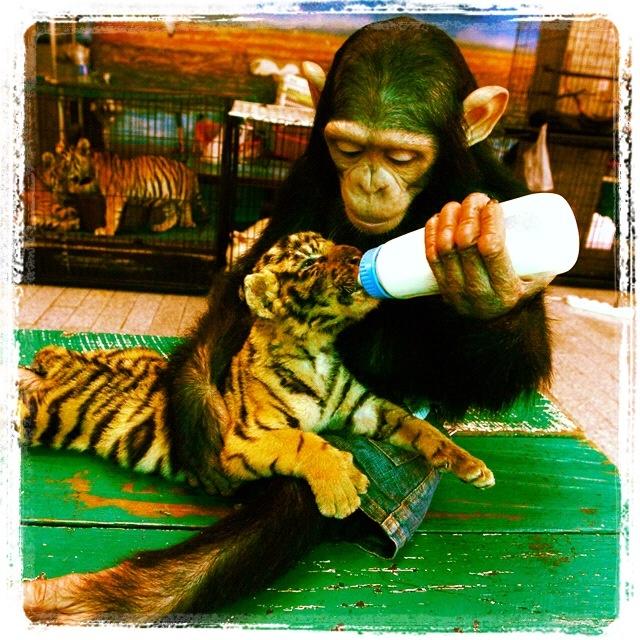 just makes me wanna see chimpanzees more.
