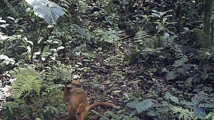 Mitred leaf #monkeys feed from up to 197 different tree species #FromTheField https://www.youtube.com/watch?v=8VkfhRDVPmM&index=1&list=PLxs1X56SvmClp1oCHTz5iP56b6FNyPHL4