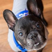 French Bulldog Rescue Network :: Pascal in NJ