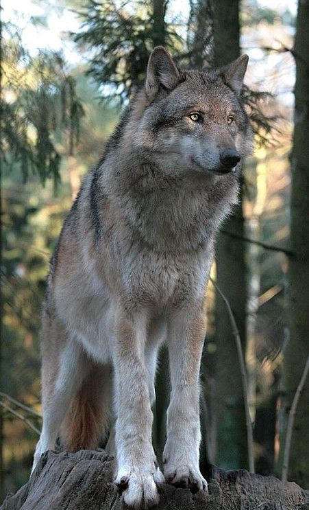 The Timber Wolf(Canis lupus) is the largest canine in the world. Average weight is 80 pounds and can stand up to 38 inches tall with a body length of 58 inches (excluding tail). Its svelte yet muscular body and long limbs are adapted for harsh travel and hunting.