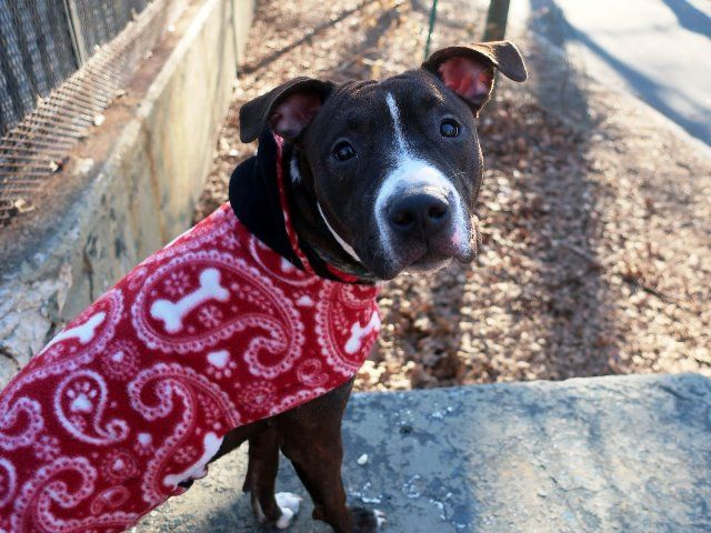 MARCELINA - 18825 - - Manhattan  TO BE DESTROYED 02/01/18: A volunteer writes: Need incentive to get up in the morning? Need a jogging partner? Marcelina isn't going to let you slack off, as she loves to run and play, has a lot of energy, and is ready to go go go. All puppy bouncy and fun, she's absolutely stunning in her mahogany coat with gold accents, her sweet eyes make soft contact, especially when I have a treat in my hand. She wants to meet every dog we p