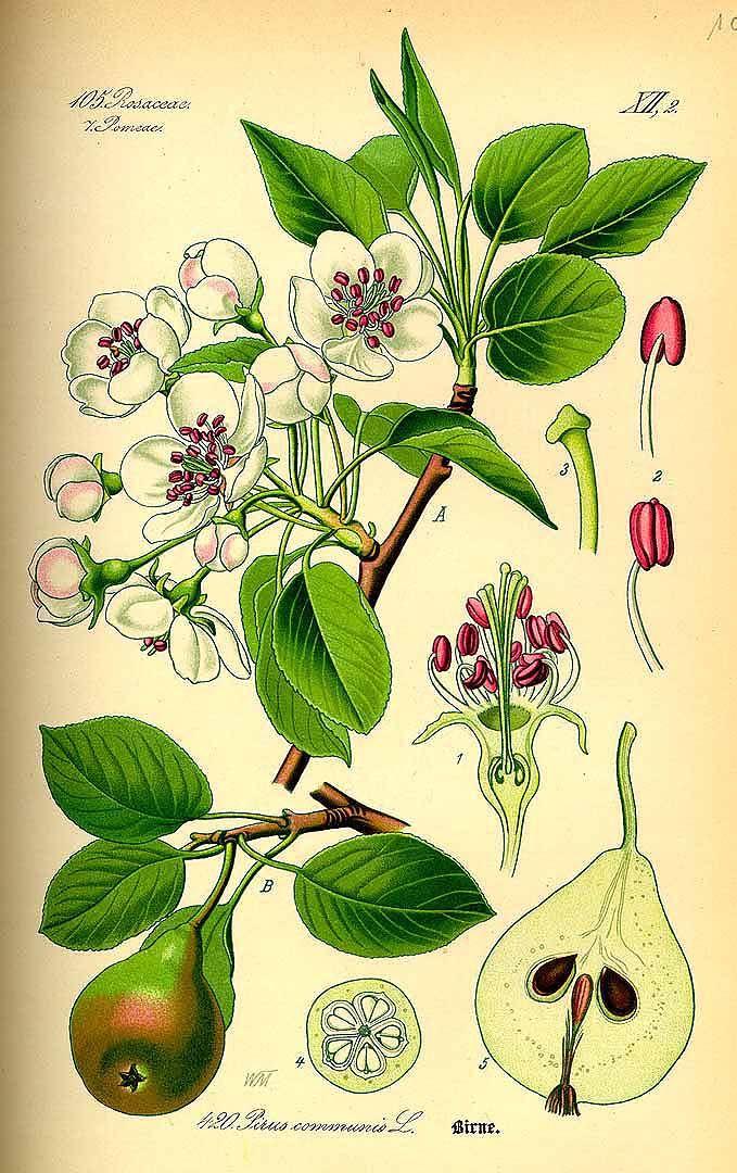 Thomé, O.W., Flora von Deutschland Österreich und der Schweiz, Tafeln, vol. 3: t. 420 (1885)