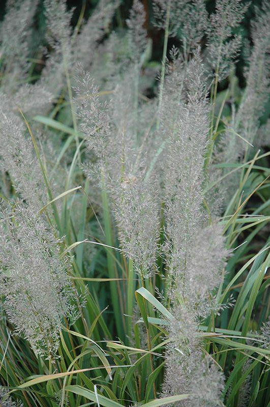 Brachytriciha Feather Reed Grass (Calamagrostis brachytricha) at Bachman's Landscaping