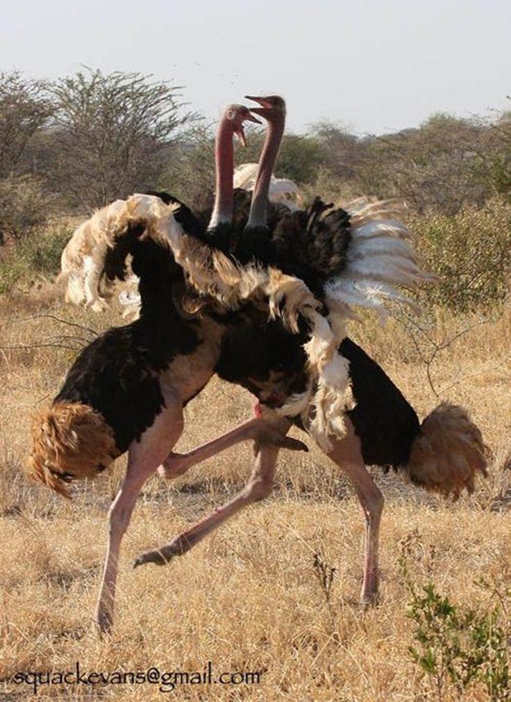 Ostrich Ostrich Large flightless bird, Ostriches, Pet