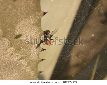 Green bottle fly trapped in spider web.