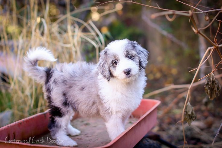 Blue Merle Aussiedoodle puppy from Cottonwood Creek Doodles! cottonwoodcreekdoodles.com
