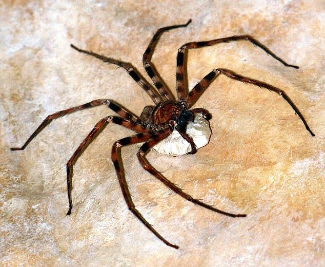 The giant huntsman spider is found in caves in Laos and has the largest leg span of all the arachnid species