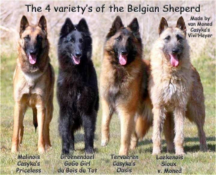 Cão de guarda e defesa vigilante ativo de grande vitalidade está sempre pronto para a ação. Sujeito à prova de trabalho campeonato internacional.