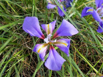 Ίριδα-Iris unguicularis:ΙΡΙΣ, Iris sp., Iris florentina (ίρις Ιλλυρική), I. attica, I. germanica. j pseudaconus L., ίρις μυρεψική, ίρις ιλλυρική, ο κοινός κρίνος. Παλιά κρεμούσαν στο λαιμό βρεφών κομμάτια ρίζας -«δάκτυλοι ίριδος, iris root fingers»- ώστε να τα μασούν και να γαληνεύει ο πόνος από την οδοντοφυΐα. Οι ίριδες είναι φυτά πολυετή, με άνθη κυανά, ιόχροα, κίτρινα ή λευκά. Η ονομασία τους σχετίζεται με την 'Ιριδα, θεότητα της Ελληνικής αρχαιότητας και αγγελιαφόρου των θεών. Ο σουηδός…