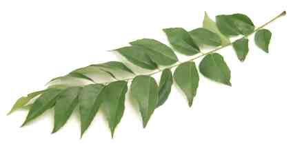 Indian Herbs - Curry Leaf = meetha neem = kari patta - essential to South Indian, Sri Lankan and Southeast Asian cookery | Cook's Thesaurus