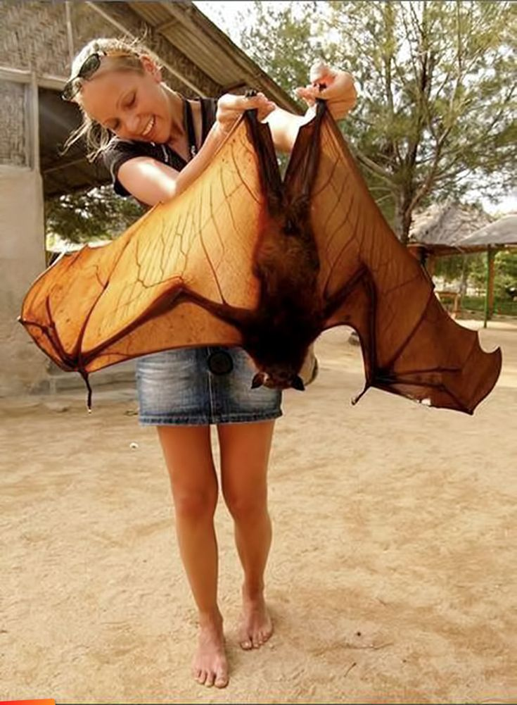 Flying fox (bat) from Belize // photo by Mai Live Wiyah Love.