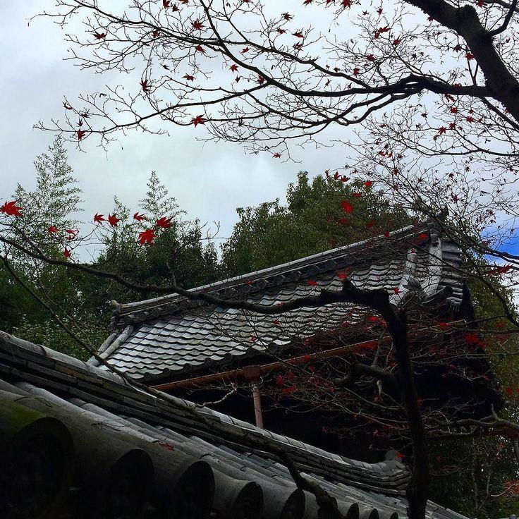 Холодный ноябрьский дождь сегодня весь день обрывает с деревьев их осенний наряд. Вот и всё сезон момидзи заканчивается. #момидзи #клёны #клены #киото #япония #дождь #осень #ноябрь #листопад