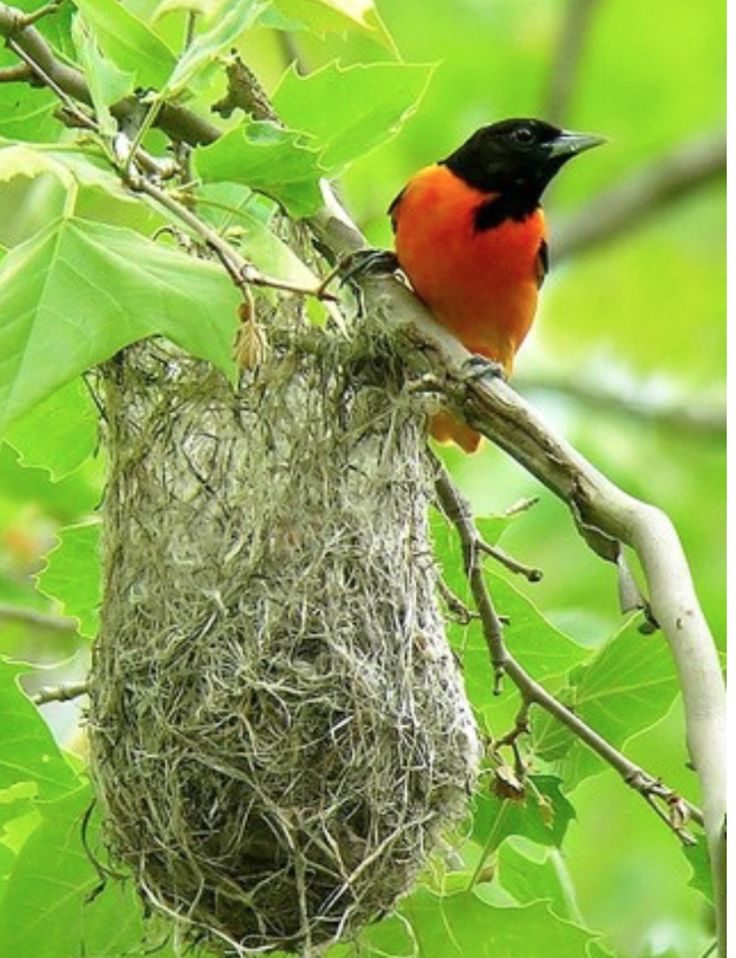 How to Attract ORIOLES to Your Yard & Feeders - they love the color ORANGE! ( photo https://www.flickr.com/photos/garyt48/3610788690/)
