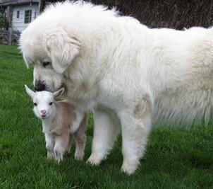 Great Pyrenees with his little lamb. They are great herding dogs and are great protectors of their little farmin friends :)