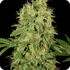 CBD-Chronic - strain - Serious Seeds | Cannapedia