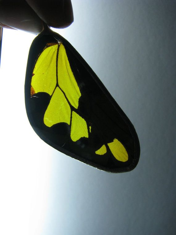 This pendant is made using a real butterfly wing. Ornithoptera tithonus is a remarkable butterfly for New Guinea! I also wear the other wing