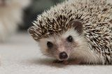 African Pygmy Hedgehog Chocolate