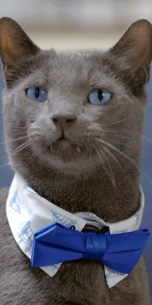 With the Blue Cash Everyday Card from American Express, get cash back on Classy Cat Collars. We partnered with Buzzfeed to show you how to create these feline fashions. Show off the fancy side of your furry pet with this tutorial. We'll show you how to make cute, homemade kitty accessories – like cool bow ties and bedazzled neck pieces. Shop for the DIY materials and get cash back on purchases. Terms apply. Learn more at americanexpress.com/epiceveryday. Click the pin to watch how to make…