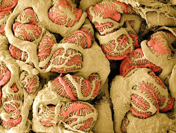 Podocyte cells, false-color SEM, by Thomas Deerinck. Podocyte cells form interweaving extensions, called pedicles, that infiltrate the kidneys' capillary system. Toxic waste is extracted as it moves through the pedicles' interlocking filtration slits.