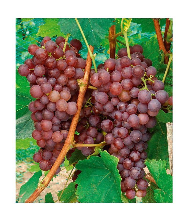 les 25 meilleures idees de la categorie vignes sur With marvelous idee de plantation pour jardin 4 cultiver la vigne en pot
