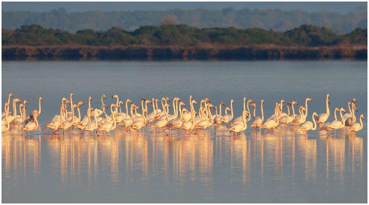 Flamingos in the lovely logoon at Orbetello in Maremma Tuscany