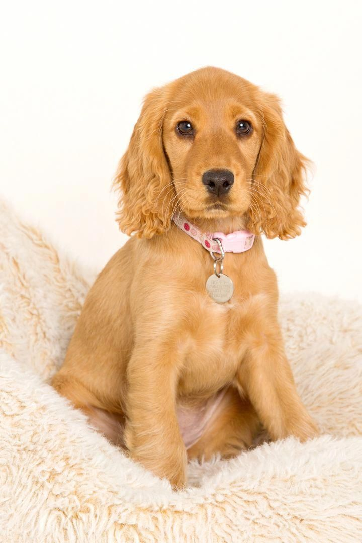 Not My Normal Photography Work But When A Long Time Client Asks If You Will Take Pictures Of Her Cocker Spaniel Puppy Well Cocker Spaniel Clipart Cocker Spaniel Puppies