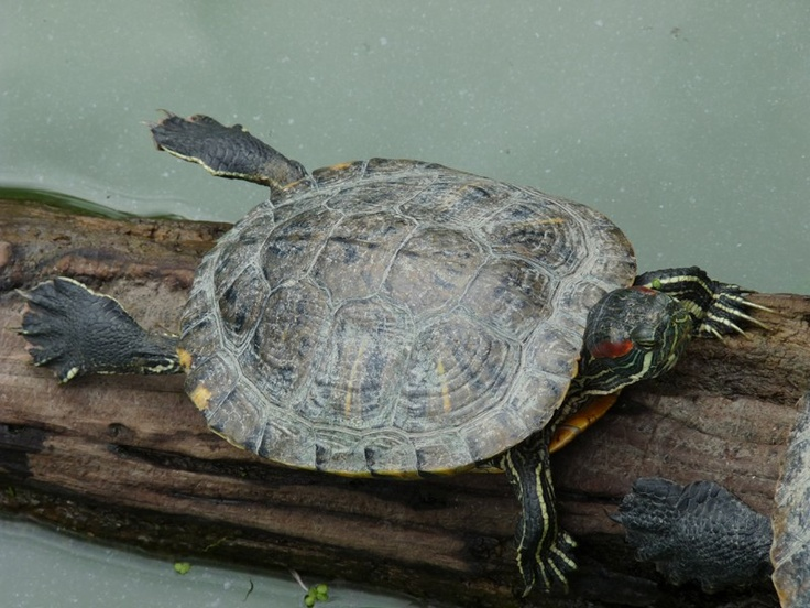 http://faaxaal.forumgratuit.ca/t2098-tortue-de-floride-tortue-a-tempe-rouge-trachemys-scripta-elegans