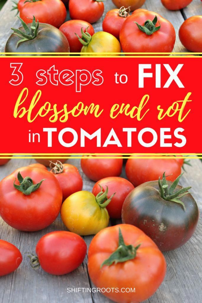 There's no more frustrating tomato growing problem to a beginner gardener than b…