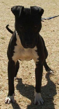 apbt:  SEADENSUN KENNELS JENNY#pitbulls #dog breeds #canine pet #dogs #pitbull puppy #pitbull dog #pitbull breeds #red nose pitbull #pitbull terrier #apbt #staffordshire terrier #amstaff #english terrier #black pitbull #moo moo pit #chocolate pitbull #pitbull poodle #blue nosed pit #pitbull mutt #mans best friend #4 month old pitbull