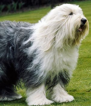old english sheepdog photo | Old English Sheepdog breed info,Pictures,Characteristics ...