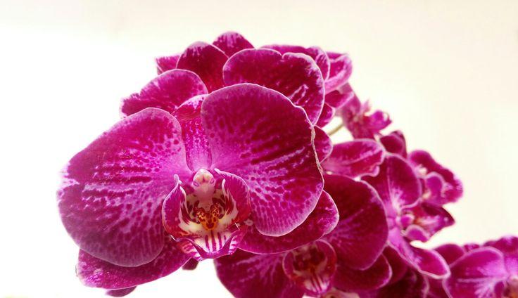 Beauty phalaenopsis