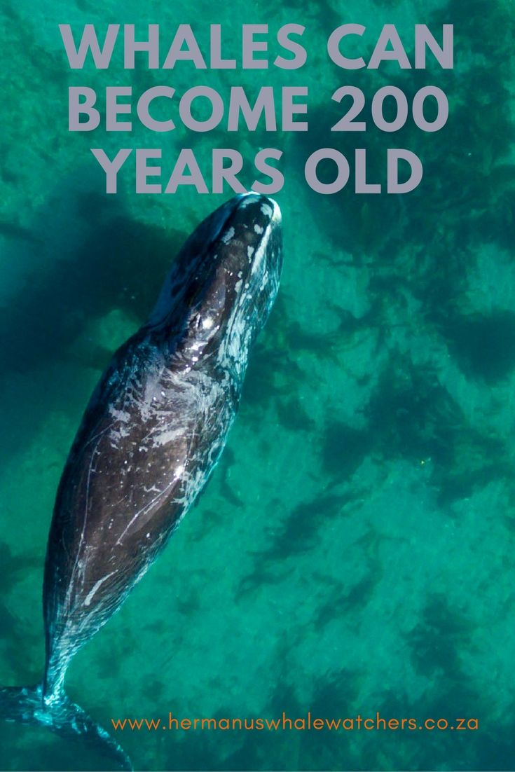 It is estimated that bowhead whales may live as long as 200 years, while other species may only live into their 20's.