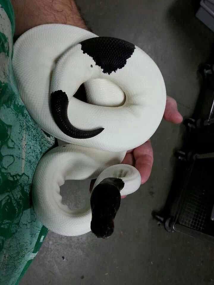 Panda pied ball python                                                                                                                                                                                 Mais