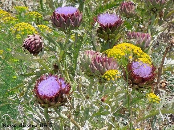 Menfi - Porto Palo bike path  Artichoke flowers