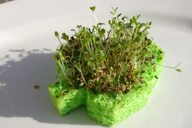 shamrock sproutsGrowing Plants, Growing Seeds, Kids Projects, Science Projects, Growing Sprouts, Chia Pets, Science Experiments, Girls Scouts, Shamrock Sprouts