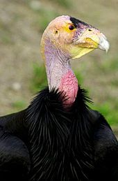The California Condor numbers dramatically declined in the 20th century due to poaching, lead poisoning, and habitat destruction. A conservation plan was put in place by the United States government that led to the capture of all 22 remaining wild condors in 1987. These surviving birds were bred at the San Diego Zoo Safari Park and the Los Angeles Zoo.
