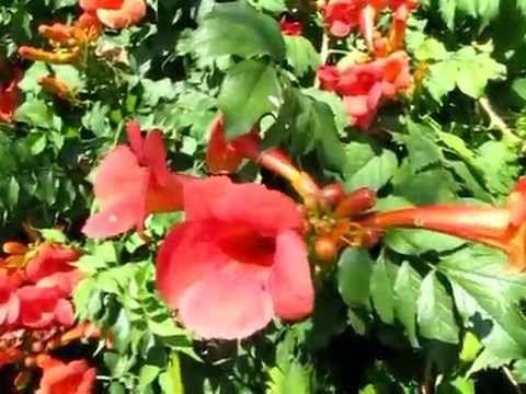 Кампсис - красивая, многолетняя лиана.