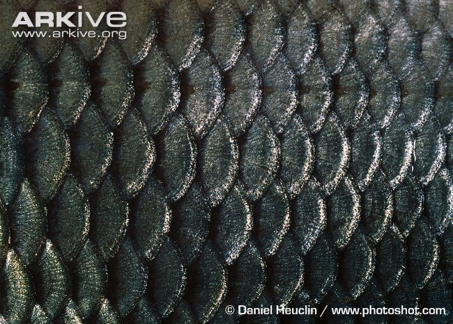 11 best images about fishscale on pinterest fish scales for Best fish scale