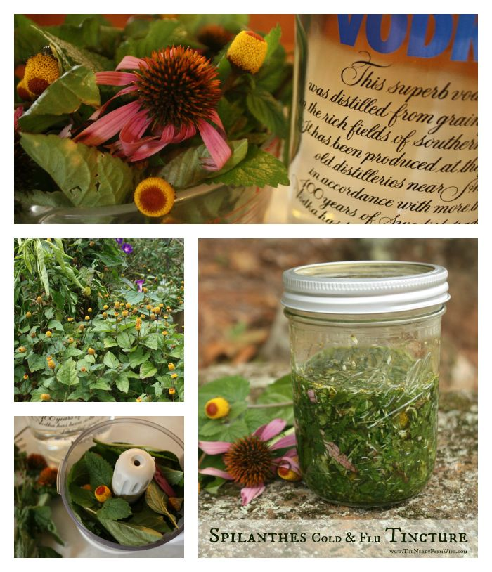 "My Favorite Cold Tincture - Recipe with the herb ""Spilanthes."" Good info to know about this herb."