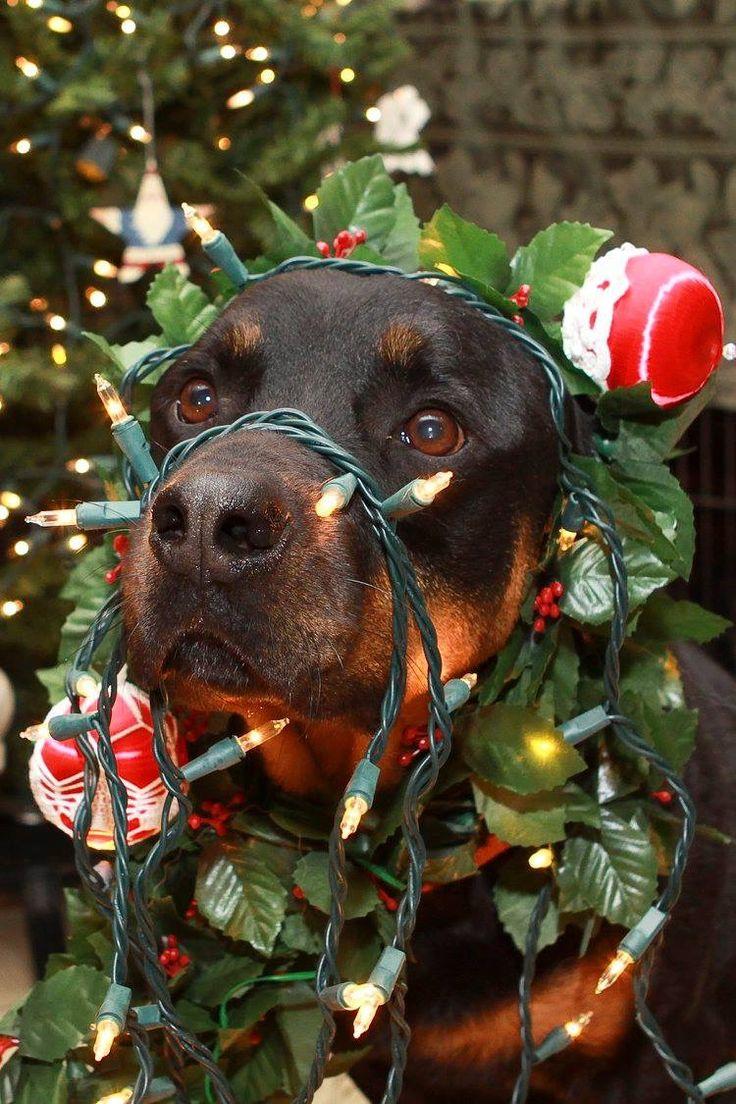 Christmas Rottie