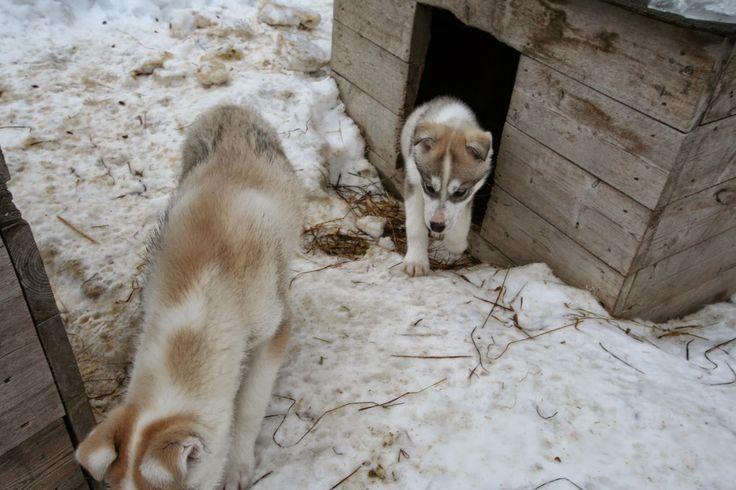 Saija Lodge Sled Dog Blog: News from Zebu and Zoni