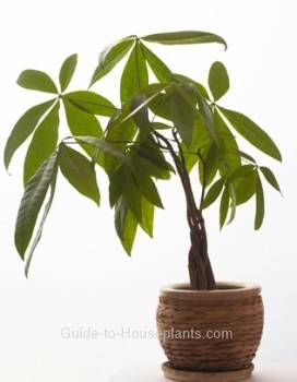 Caring for a money tree plant (pachira aquatica)