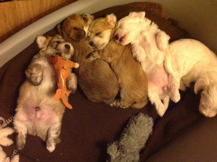 Cachorros dormidos mezcla de West Highland white terrier y Yorkshire terrier
