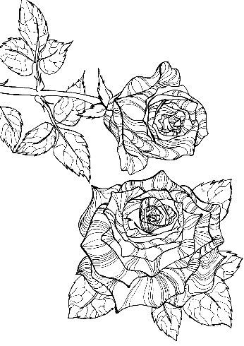 Stripped Back Rose by prettypetals  Roses look so simple on the stem, but when you break them down there are so many lines and curves, points and twists that they create the most beautiful designs that don't even need color to really