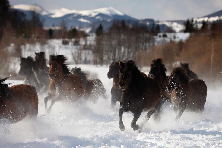 Carpathian pony, Hucul (Equus caballus)