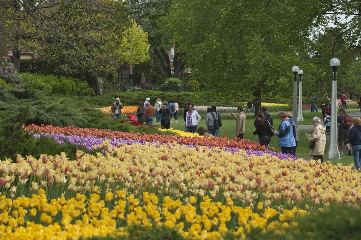 Some of the 300,000 tulips in bloom at Commissioners Park during the Canadian Tulip Festival every May in Ottawa. For more information on the Tulip Festival visit http://www.ottawatourism.ca/en/visitors/top-attractions/canadian-tulip-festival