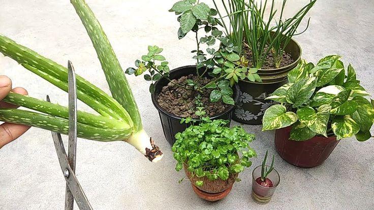 Natural Fertilizer From Aloe Vera