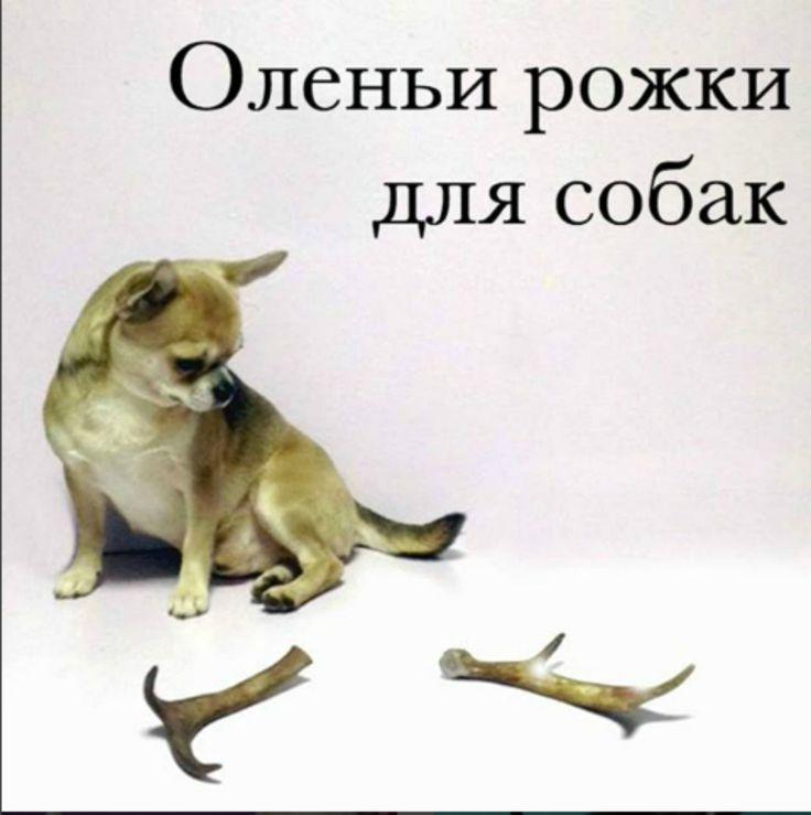 Всем привет! Пришла новая партия оленьих рожек. Кому не хватило в прошлый раз, ориентируйтесь быстрее.  А я хочу рассказать про виды рожек. Бывают: 👉Мягкие (пористые) рога. Они имеют тонкий твердый слой. Такие рога собаки любят больше но и съедаются быстрее. Мягкие рожки больше подходят щенкам и старым собачкам с проблемными зубами. 👉Твердые рога. Имеют совсем небольшой пористый слой сердцевины. Такие рожки подходят взрослым собакам и тем, кто любит грызть все подряд. Напоминаю - рога…