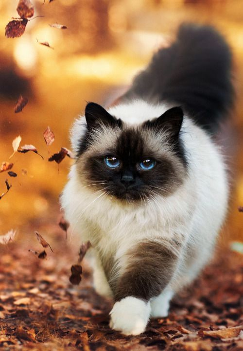 Quiet Cat Breeds: Ragdoll