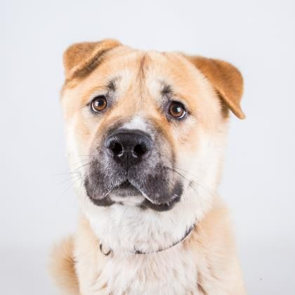 Rowf - URGENT - Dekalb County Animal Shelter in Decatur, Georgia - ADOPT OR FOSTER - 2 year old Neutered Male Akita Mix